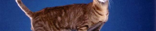 ориентальная кошка - какие кошки самые ласковые и умные