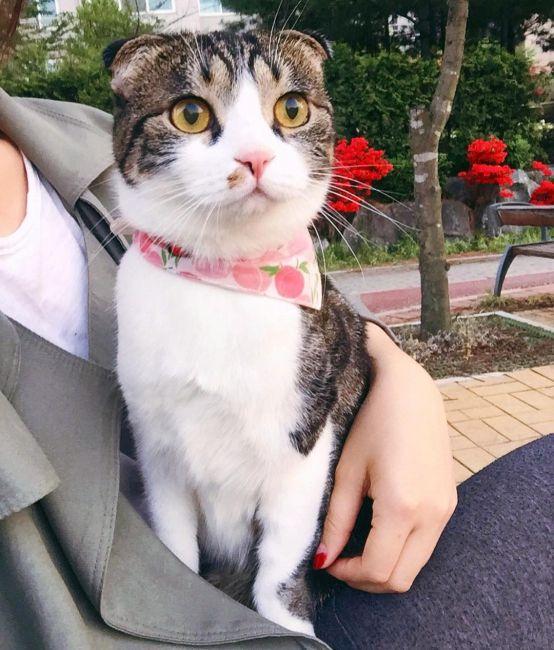 трехцветная вислоухая кошка фото