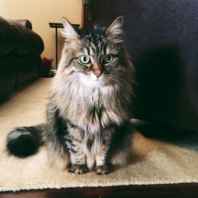 сибирская длинношерстная кошка